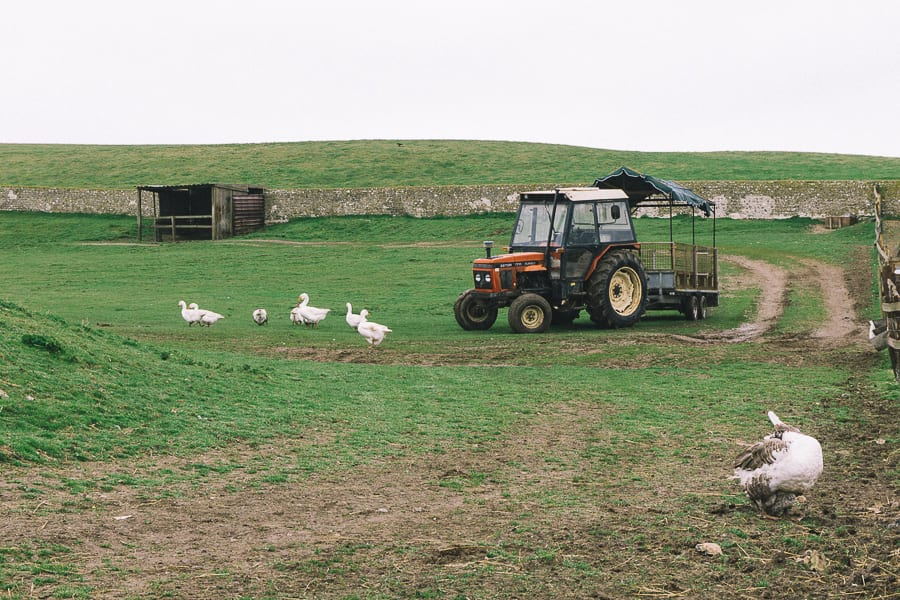 Tractor ride and geese
