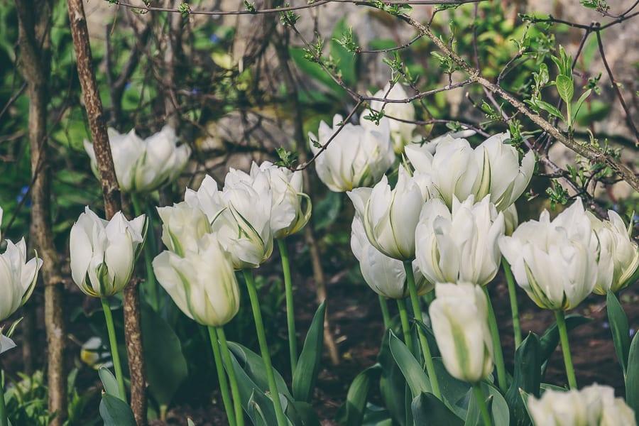 Tulip time white tulips