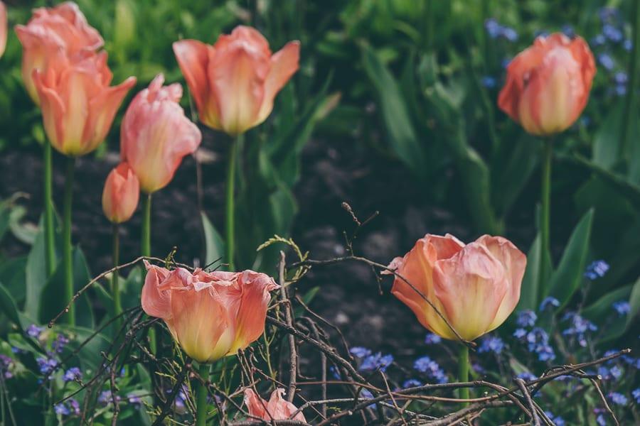 Tulip time yellow orange tulip mix