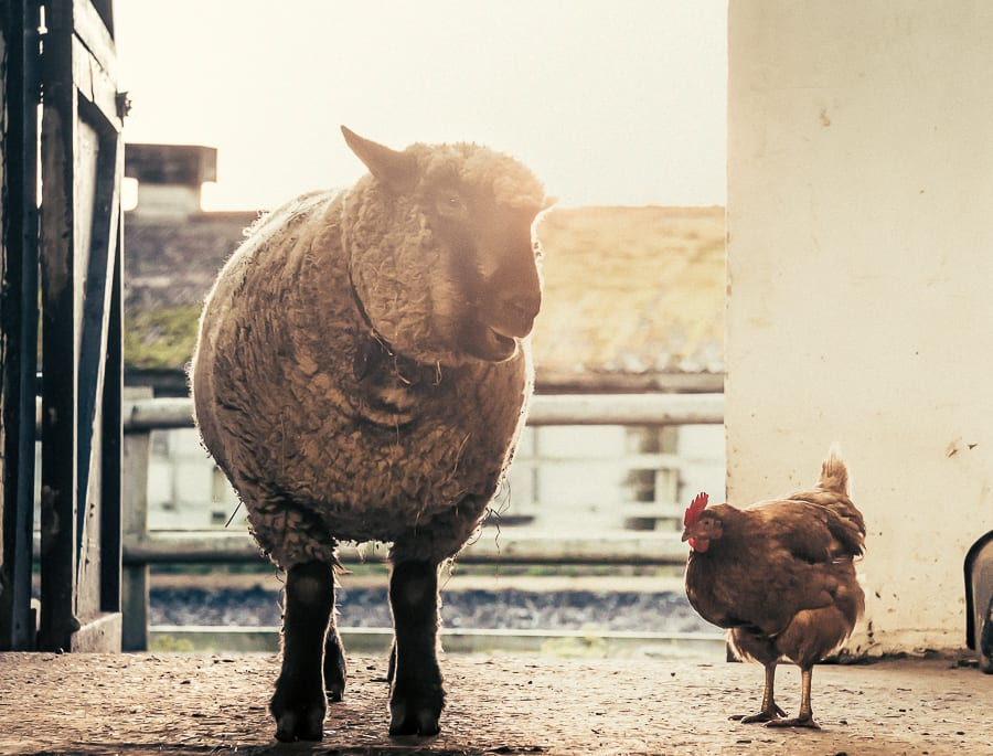 Woolly and hen chatting