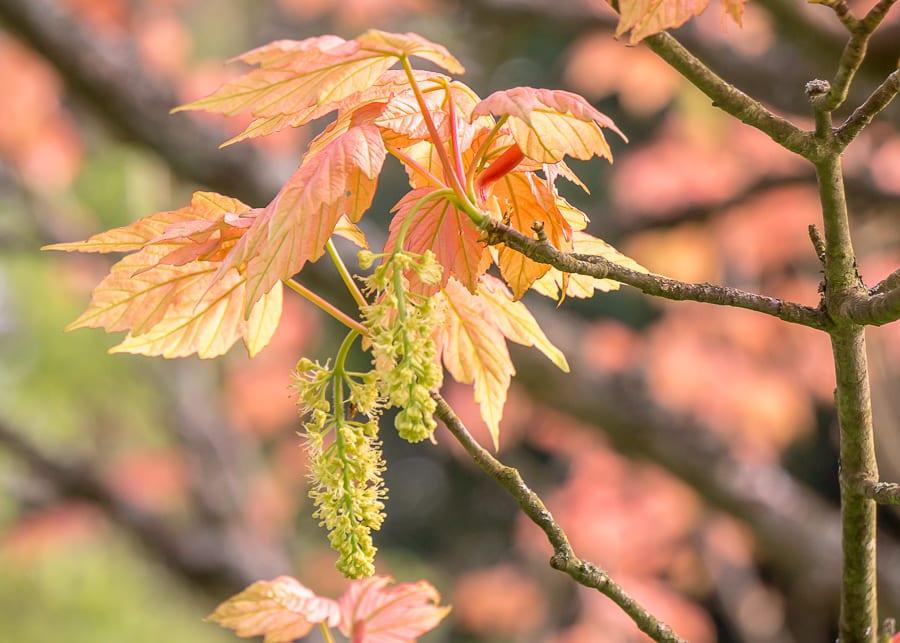 Chiddingstone Castle maple leaves catkins