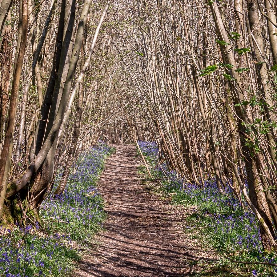Pine plantation April bluebells