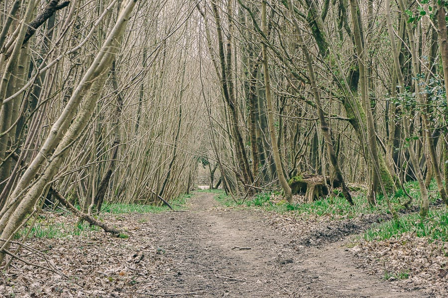 Pine plantation March coppice path