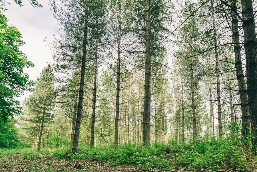 Pine plantation May wood edge