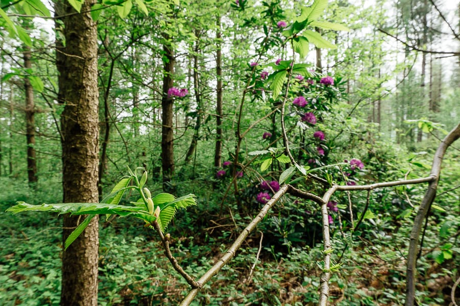 Rhododendrons in pine woods