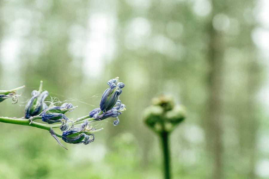 Dying bluebells and fern