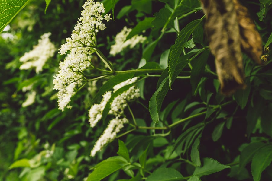Elderflower panicles
