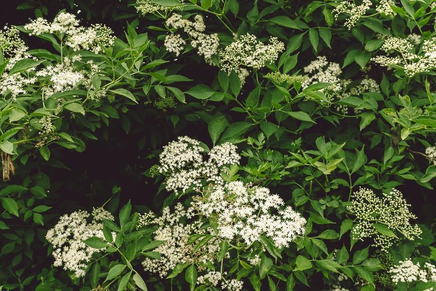 Elderflower shrub hedgerow