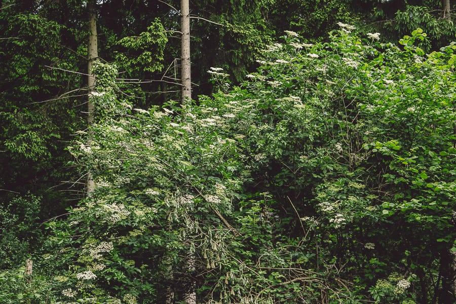 Elderflower woods
