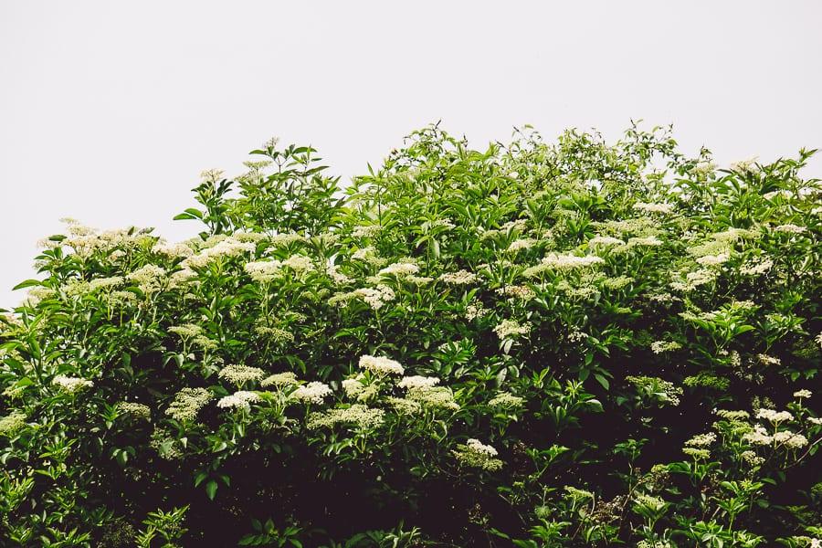 Elderflowers blossoming