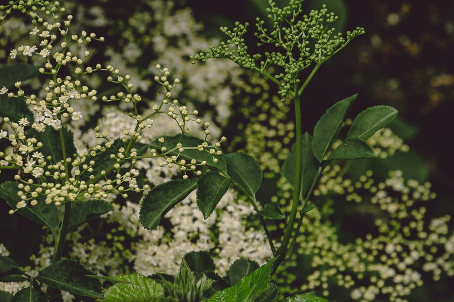 Elderflowers shrub in woods