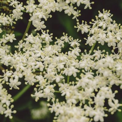 Hedgerow foraging – Elderflowers