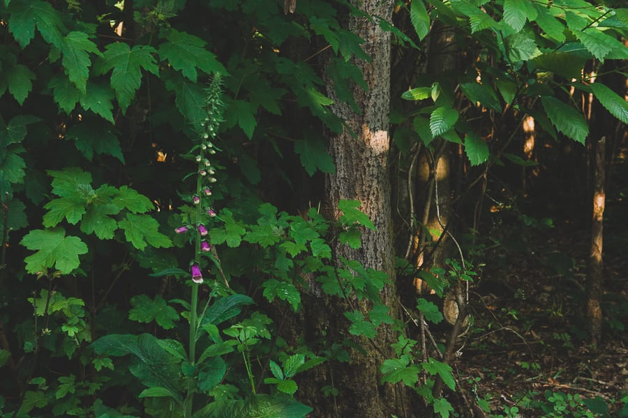 Foxglove dappled wood light