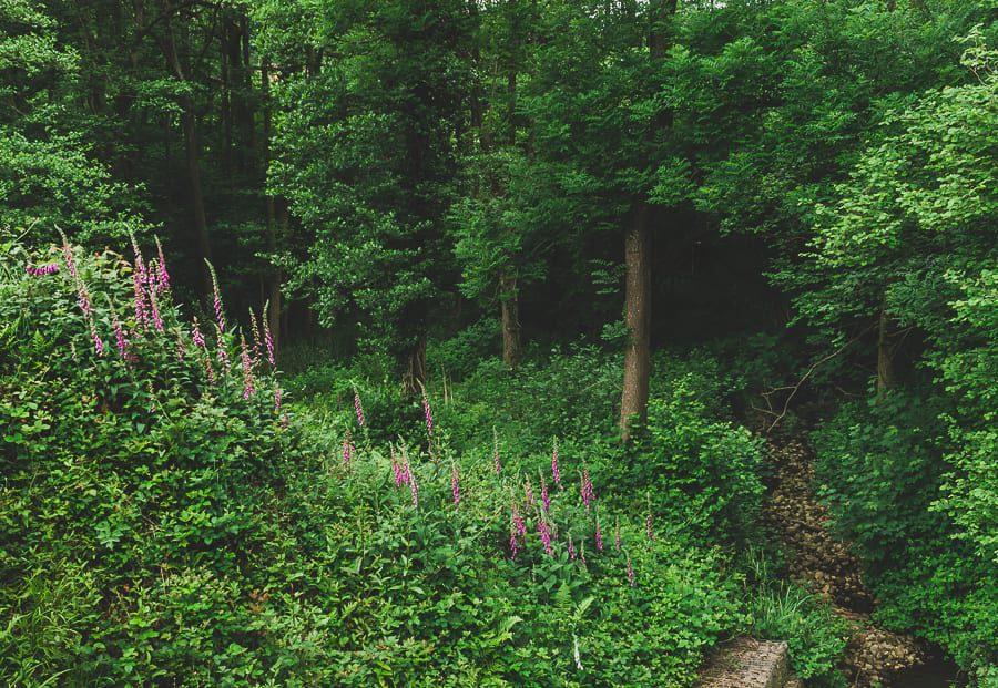 Foxgloves bankside stream