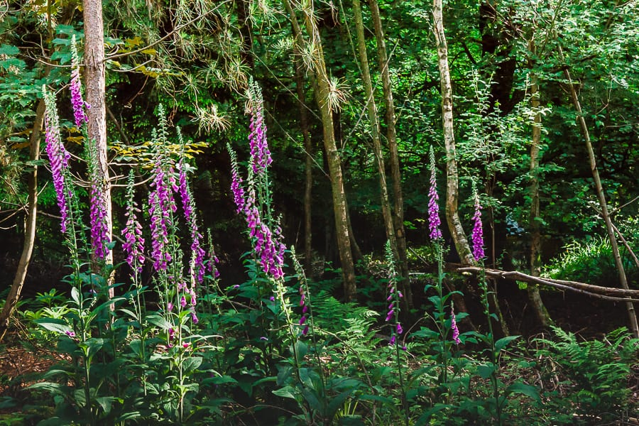 Foxgloves growing in clusters