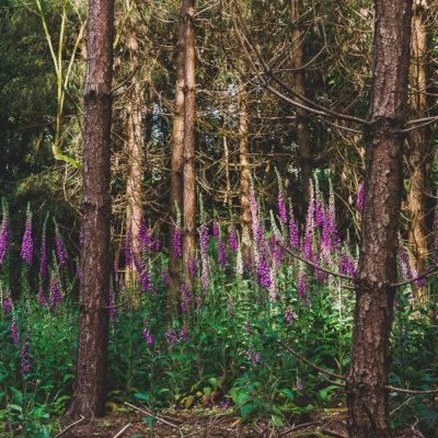 Wild Foxgloves in the Woods
