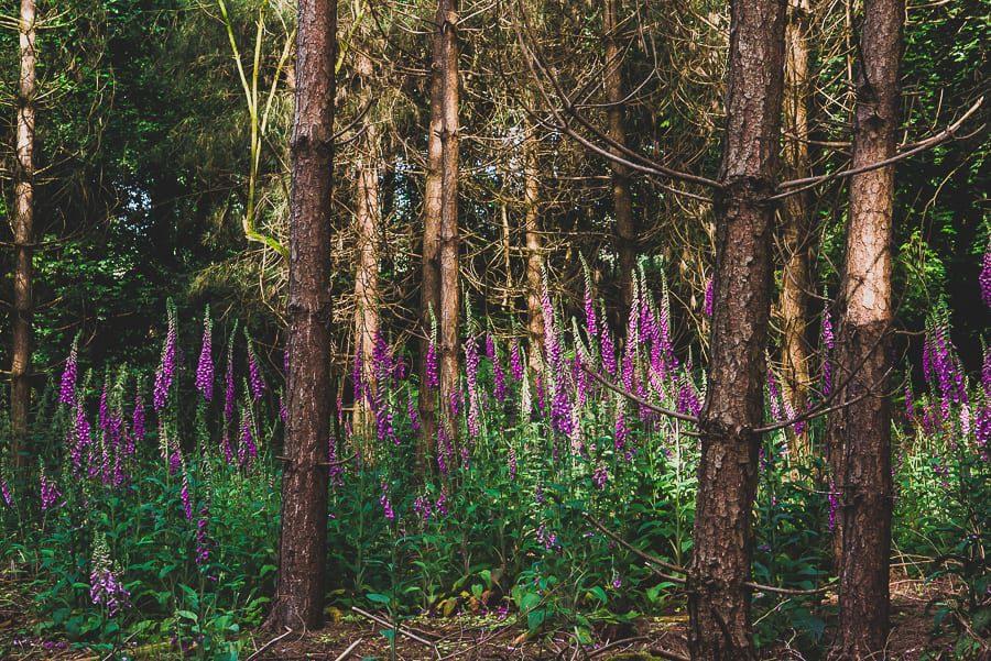 Wild Foxgloves in the Woods
