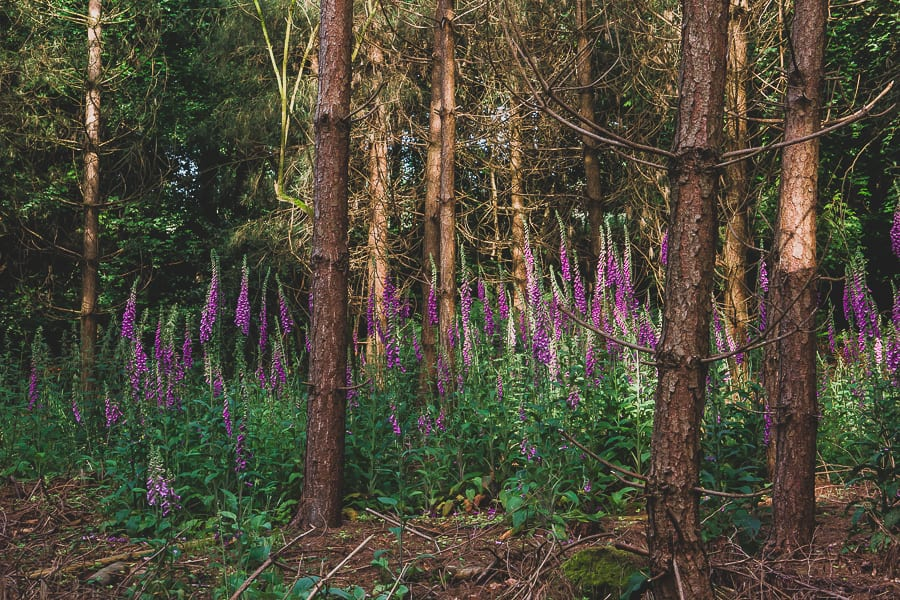 Foxgloves in pine woods