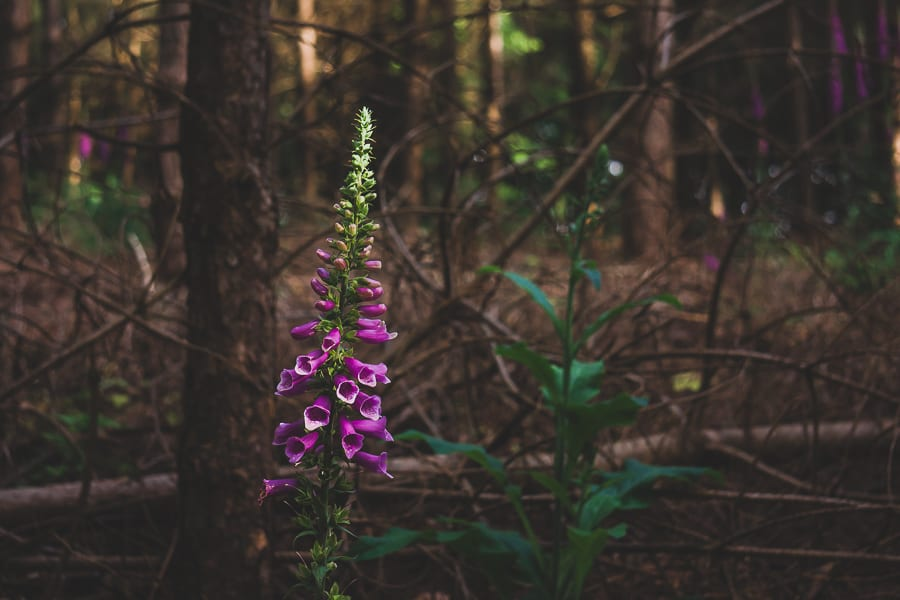 Foxgloves woods clearing
