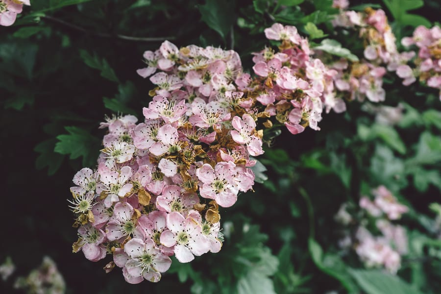 Hedgerow Hawthorn blossoms