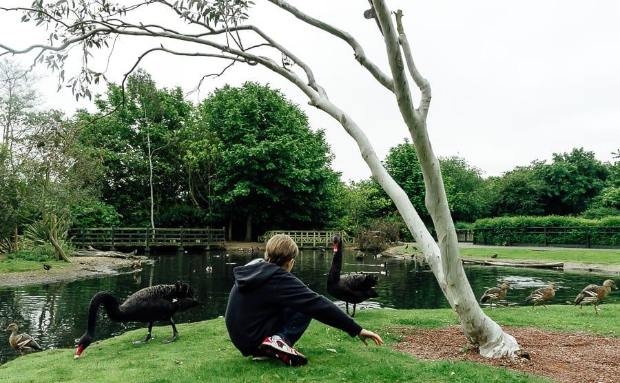 London Wetland Centre Theo black swans