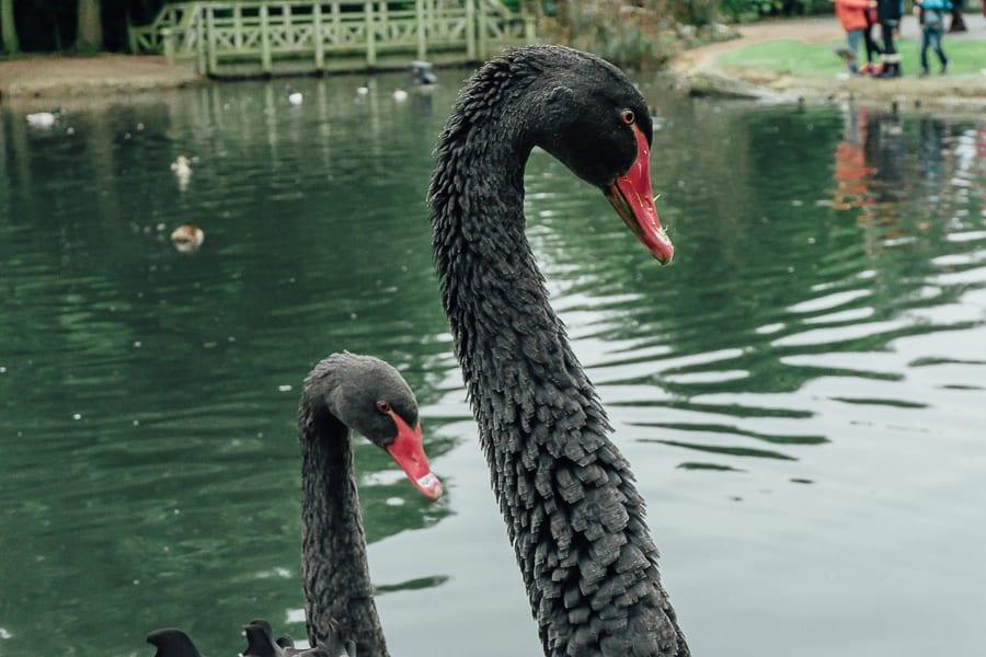 London Wetland Centre black swans