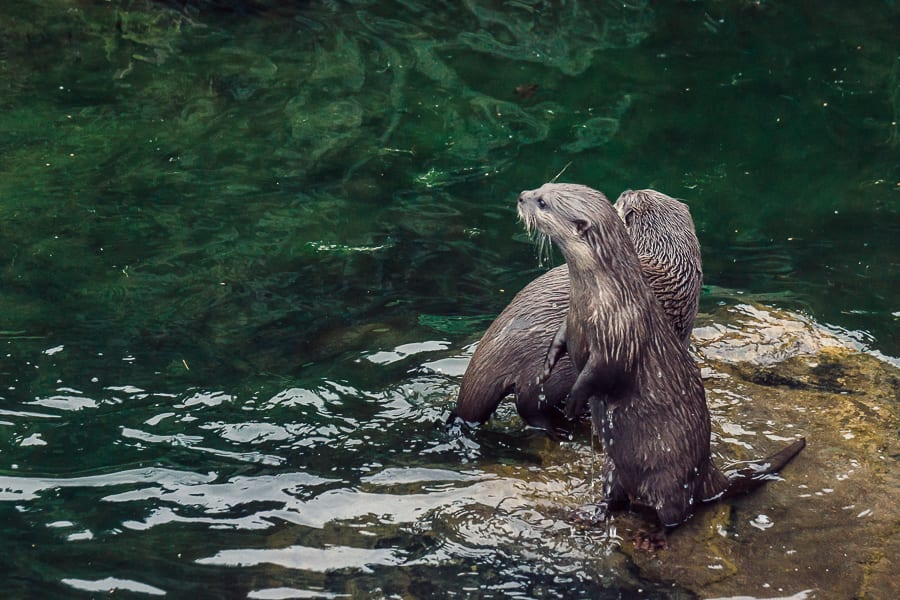 London Wetland Centre otter pair on water rock