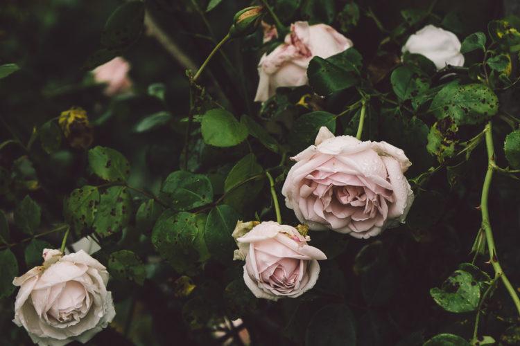 Rain and roses