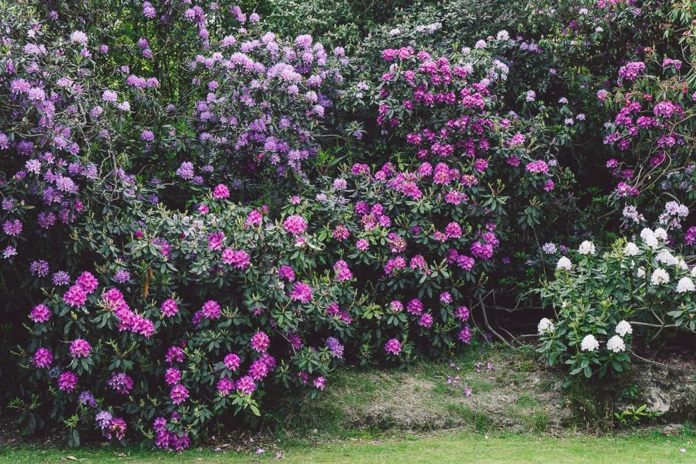 Rhododendron mature flowering shrubs