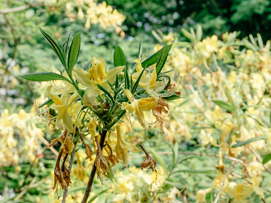 Rhododendrons yellow