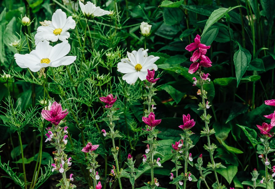 Nymans Cosmos and pink