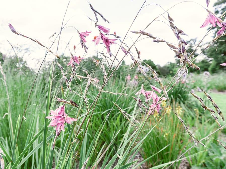Nymans meadow flowers
