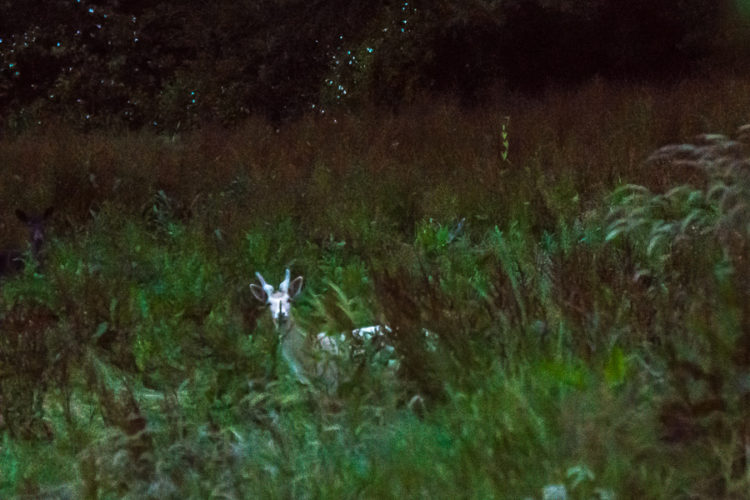 A white deer walked by