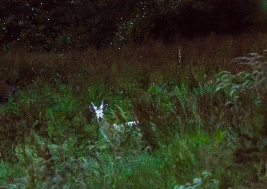 White buck in grass