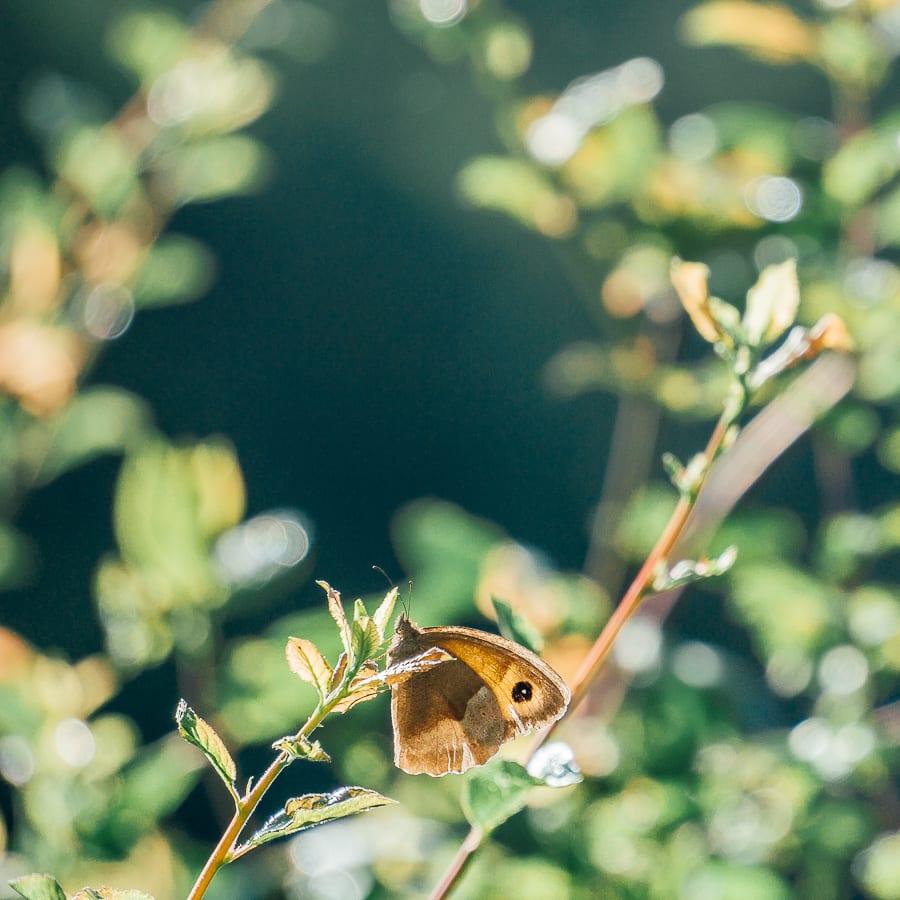 Peacock butterfly sunlight