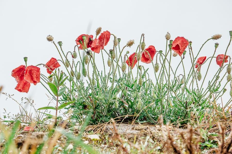 Wild flowers poppies