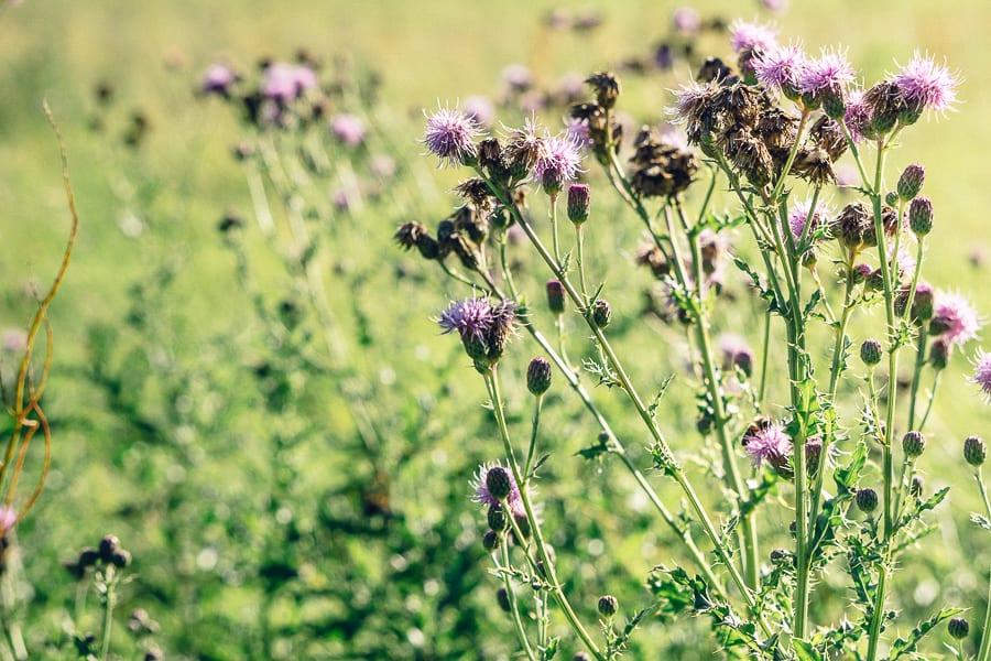 Purple thistles in field