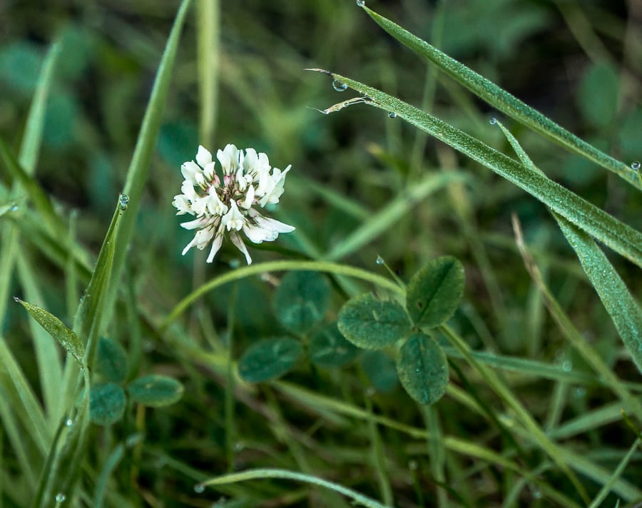 white clover wild flower