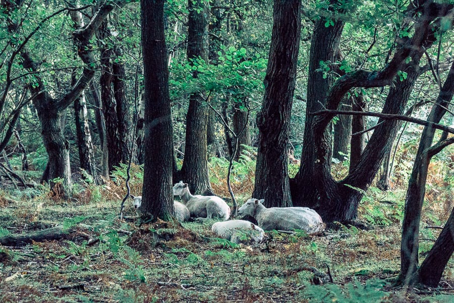 Ashdown Forest sheep resting