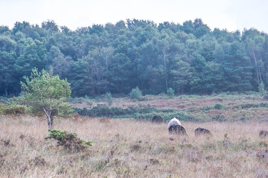 Heathland cattle grazing
