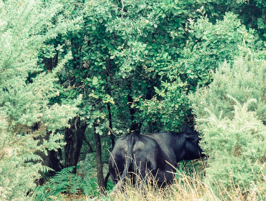 Cow grazing in the woods