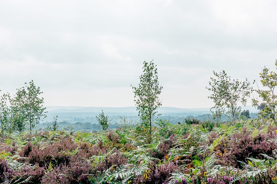 Flowering heather in heathland landscape