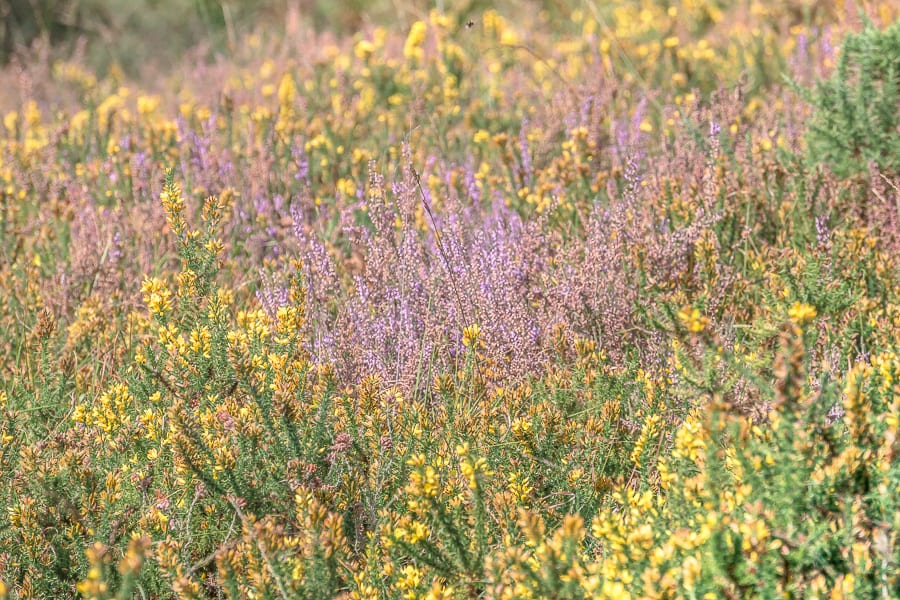 Heather and gorse flowering on heathland