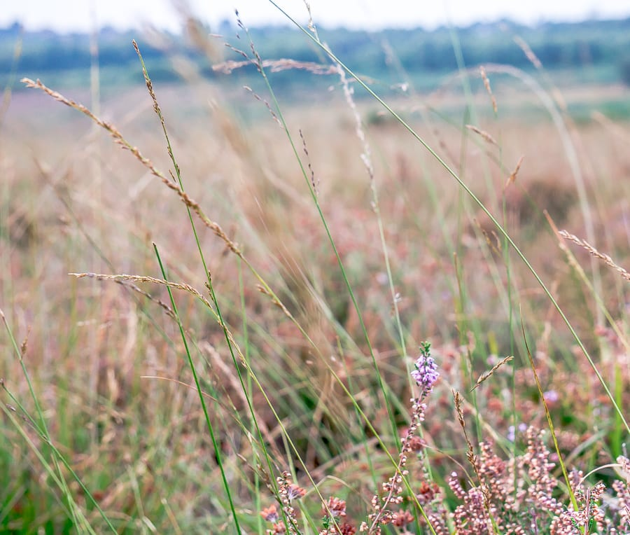 Heather among grasses on heathland