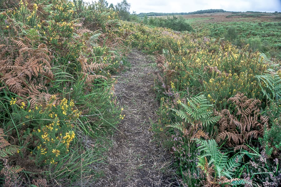 Path amid heather fern and gorse
