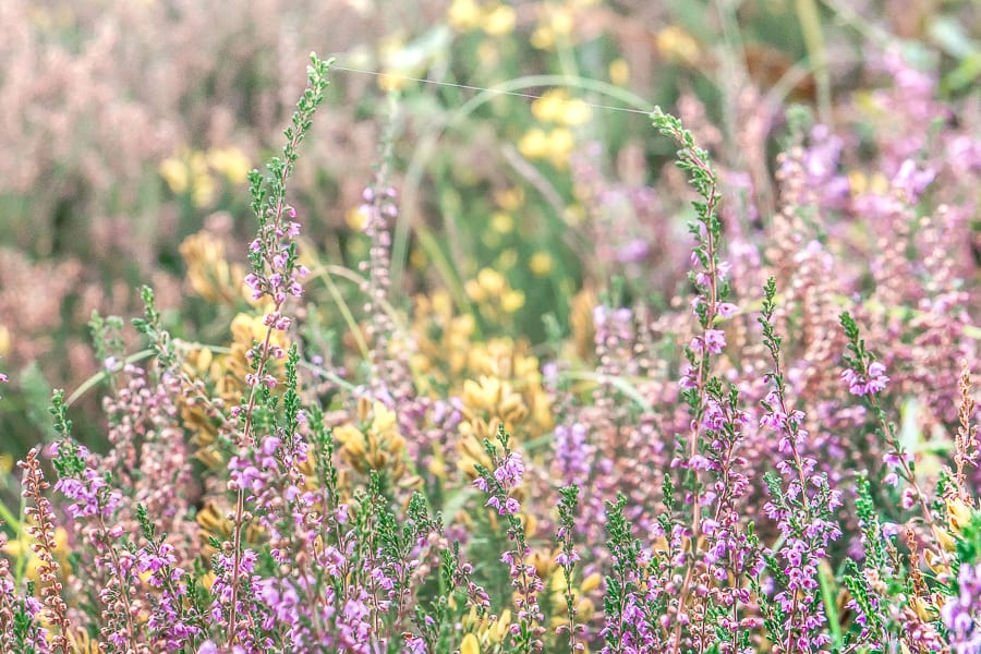 Web silk linking heather stems
