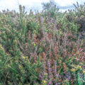 Heather and gorse