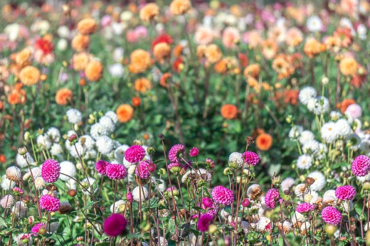 A Field of Dahlias