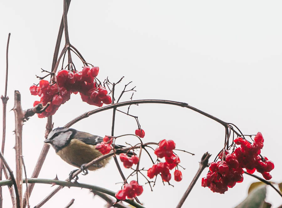 Winter Garden Birds Blue tit guelder roses