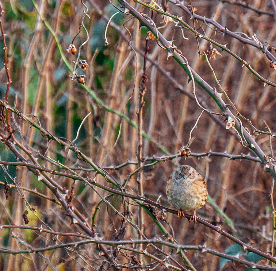 Dunnock hedgerow